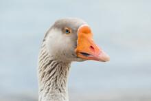 Greylag Goose Portrait Close Up Outdoors Anser