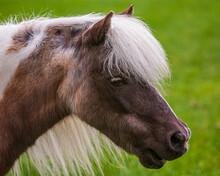Head Portrait Of A Silver Dapple Miniature Horse