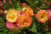 An Exceptionally Beautiful Variety Of Rose In Which Each Flower Shades From Deep Pink Petals On The Outside To Golden Yellow On The Inside