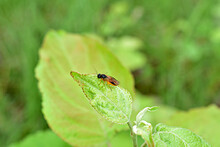 The Picture Shows A Close-up Of A Yellow Fly Pest Of Young Carrots. Carrot Fly.
