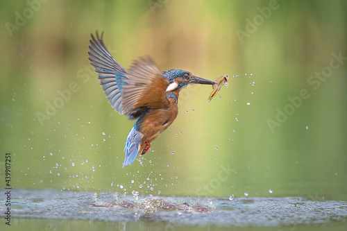 A male kingfisher emerging out of the water with a fish Fototapeta