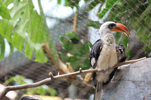 Northern Red-billed Hornbill (Tockus Erythrorhynchus), Kansas City Zoo, USA