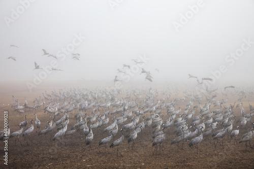 Fototapeta premium Huge flock of cranes