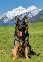 Beautiful German Shepherd Posing In The Scenic Meadow In The Background Of Snowy Mountains