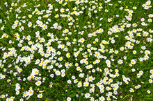 Oxeye Daisy Flowers, Close Up. Blooming White And Yellow Flowers On The Field In The Spring. Dog Daisy On Meadow. Flowering Field At Sunny Day. Leucanthemum Vulgare