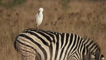 White Egret Grooms Plumage While Perching On Grazing Zebra In Golden Hour Field