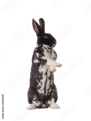 black rabbit stands on its hind legs isolated white background Fototapet