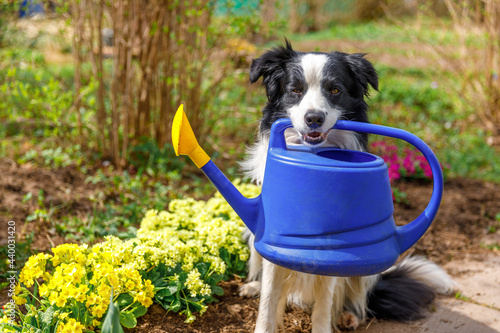 Fotografiet Outdoor portrait of cute dog border collie holding watering can in mouth on garden background