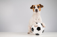 Jack Russell Terrier Dog With Soccer Ball On White Background