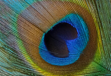 Beautiful Peacock Feather Close-up, Macro. Peacock Feather Texture. High Quality Photo
