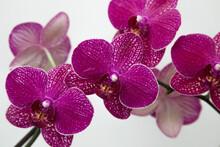 Purple Moth Orchid Flowers