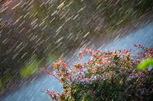 Raindrops Fall On A Barberry Bush. Close-up.