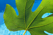 Detail Of The Green Veins Of A Fresh Fig Leaf In The Sun And Water Background