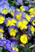 Closeup Of Viola Tricolor (Johnny Jump Up)