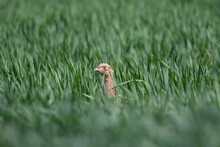 Ring-necked Pheasant (Phasianus Colchicus) - Head Only Of  A Female Ring Necked Pheasant In A Wheat Field