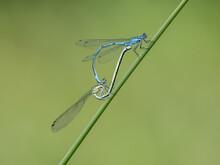 Azure Damselflies Mating On A Reed Stem