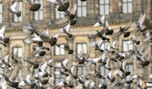 Pigeons Fly Away On A Square In Amsterdam....