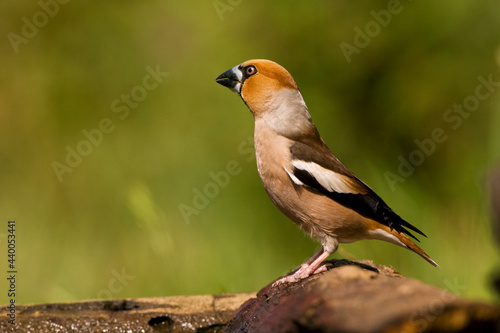 Appelvink, Hawfinch, Coccothraustes Coccothraustes Fototapet