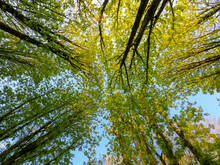 Looking Up At Tree Crowns With Spring Green Foliage. Against A Clear Blue Sky. High Quality Photo