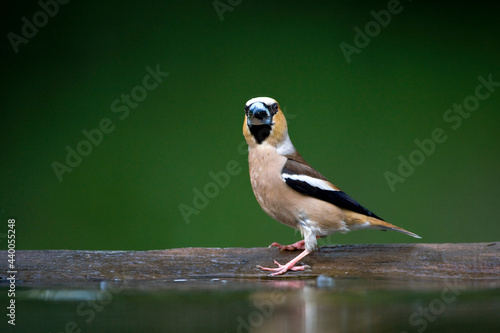 Fotografiet Appelvink, Hawfinch, Coccothraustes coccothraustes