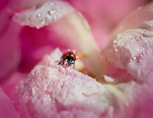 Ladybug On A Pink Flower. An Insect With Red Wings On A Peony. Macro. Selective Focus. Wildlife.