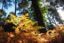 Low Autumn Sunshine Highlights Bracken In A British Woodland