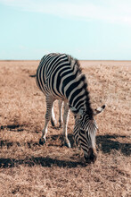 Panoramic View Of Amazing Zebra On A Field Against A Cloudy Sky. Savannah Safari