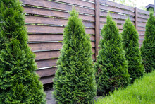 Beautiful Young Green Thuja On The Background Of A Wooden Fence.