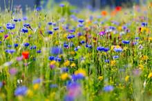 Blumenwiese Blüten Kornblumen Cyanus Segetum Klatschmohn Papaver Rhoeas Wildblumen Bunt Gräser Blühen Frühling Frühjahr Sommer Mai Juni Natur Bienen Inkarnat-Klee Blutklee Sauerland Deutschland Öko