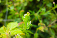 Tiny Pale Yellow British Wild Flower Isolated On A Natural Green Background