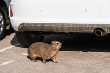 Closeup Of A Rock Hyrax Wandering On The Parking Area