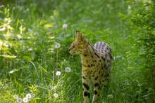 Selective Focus Shot Of Serval Cat Walking In Grass