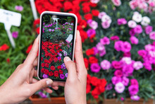 Woman Photographing Roses Through Smart Phone At Plant Nursery