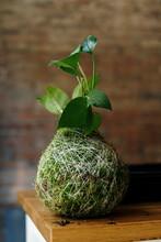 Kokedama Houseplant On Table At Home