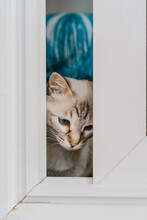 Domestic Cat Looking Through Window