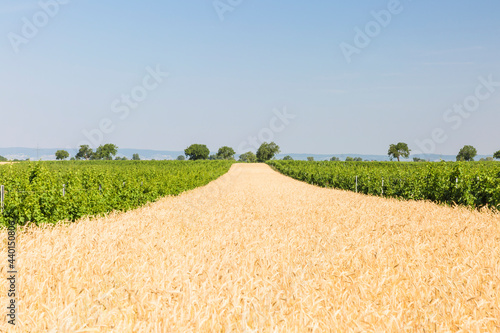 Clear sky over wheatfield in summer