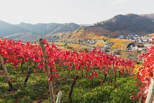 Germany, Rhineland-Palatinate, Mayschoss, Red Autumn Vineyards In Ahr Valley With Village In Background