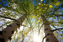 Tall Birch Trees By Sky During Sunny Day
