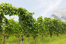 Switzerland, Grisons, Maienfeld, Vineyard With Falknis Mountain In Background