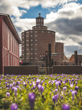 Germany, Schleswig-Holstein, Eckernforde, Bed Of Blooming Crocuses With Historical Rundsilo In Background