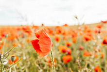 Red Poppy Flower Blowing Due To Wind In Agricultural Field