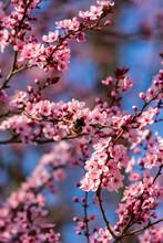 Bumblebee Feeding On Blossoms Of Japanese Plum