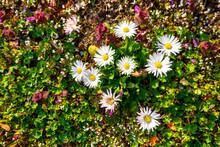Daisies Blooming In Spring