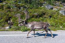 Reindeer With Big Antlers Walking On Road, Nordkapp, Norway