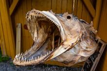 Huge Dried Fish In Nusfjord, Lofoten, Norway