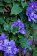Clematis- Multi Blue. Flower With Dew Drops.