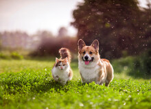 Furry Friends Red Cat And Corgi Dog Walking In A Summer Meadow Under The Drops Of Warm Rain
