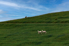 Two Sheep Grazing On Green Grassy Hill