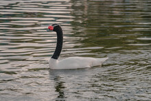 Closeup Shot Of A Black-necked Swan Swimming On The Lake