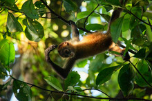 A Juvenile Central-American Spider Monkey Hanging From A Branch